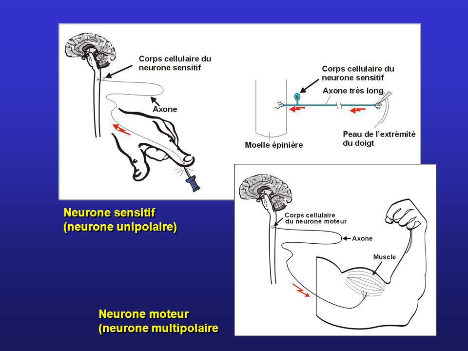 Neurone sensitif (neurone unipolaire)