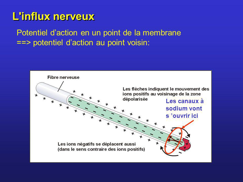 L influx nerveux Potentiel d'action en un point de la membrane ==> potentiel d'action au point voisin: