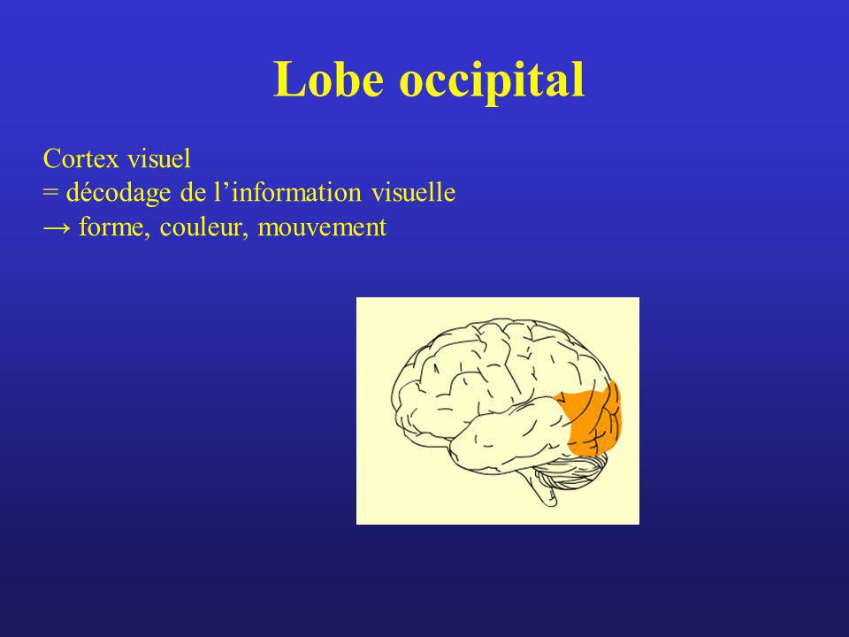 Lobe occipital Cortex visuel = décodage de l'information visuelle