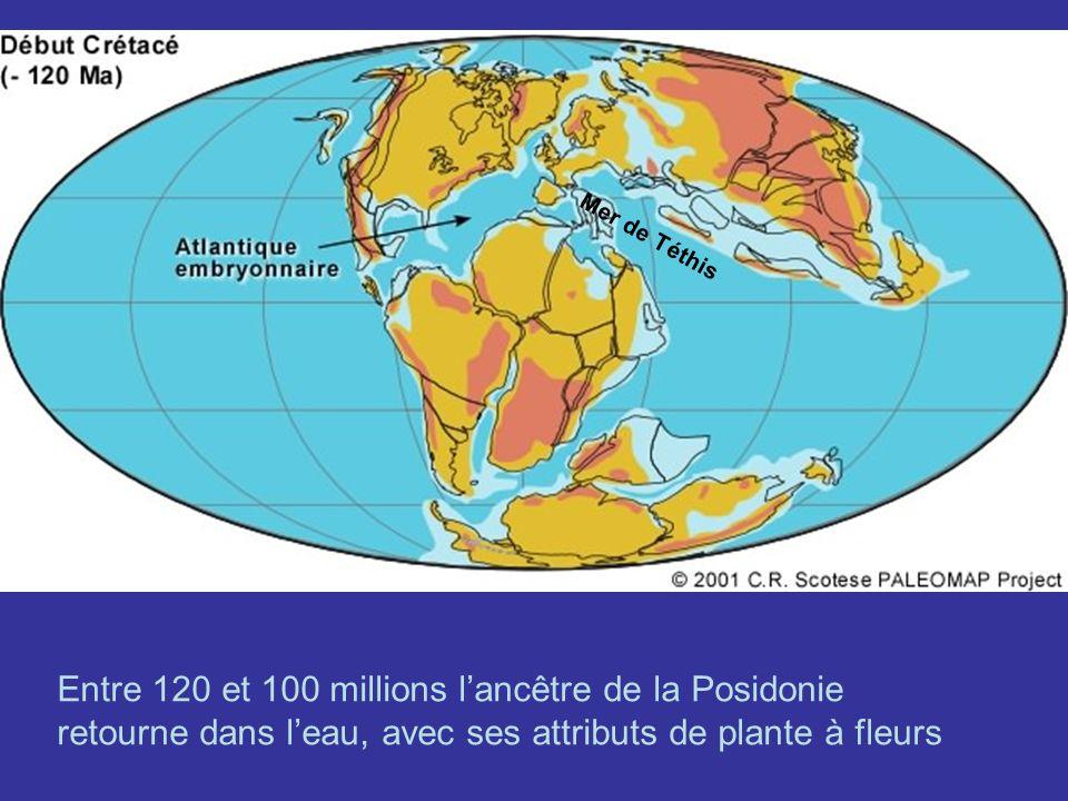 Mer de Téthis Entre 120 et 100 millions l'ancêtre de la Posidonie retourne dans l'eau, avec ses attributs de plante à fleurs.