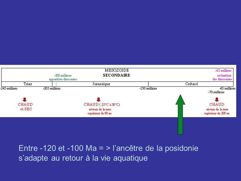 Entre -120 et -100 Ma = > l'ancêtre de la posidonie s'adapte au retour à la vie aquatique