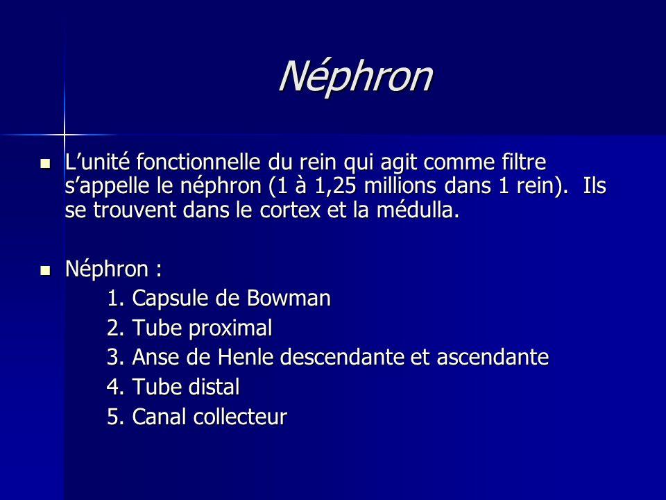 Néphron