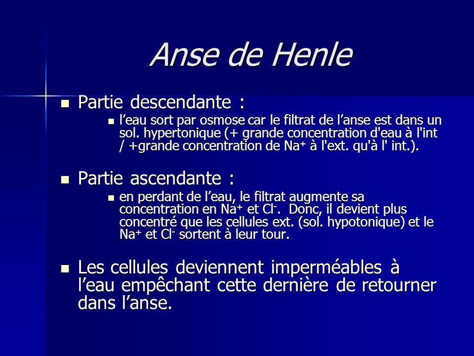 Anse de Henle Partie descendante : Partie ascendante :
