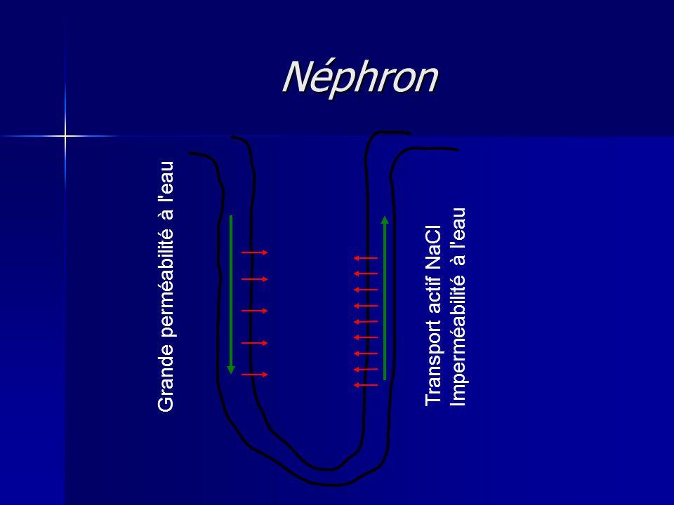Néphron Grande perméabilité à l eau Imperméabilité à l eau