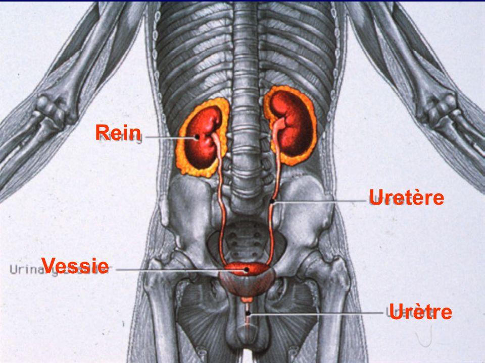 Rein Uretère Vessie Urètre