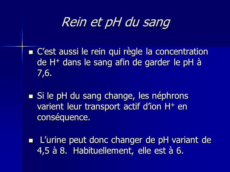 Rein et pH du sang C'est aussi le rein qui règle la concentration de H+ dans le sang afin de garder le pH à 7,6.