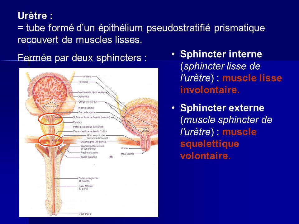 Urètre : = tube formé d'un épithélium pseudostratifié prismatique recouvert de muscles lisses.