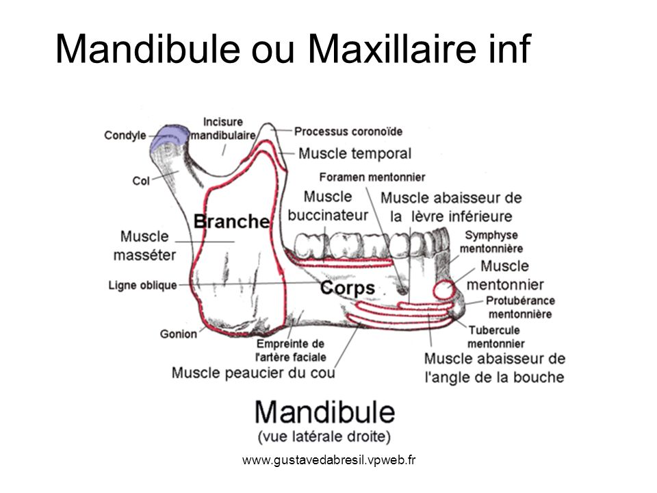 Mandibule ou Maxillaire inf