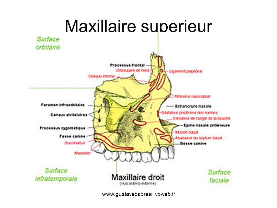 Maxillaire superieur www.gustavedabresil.vpweb.fr