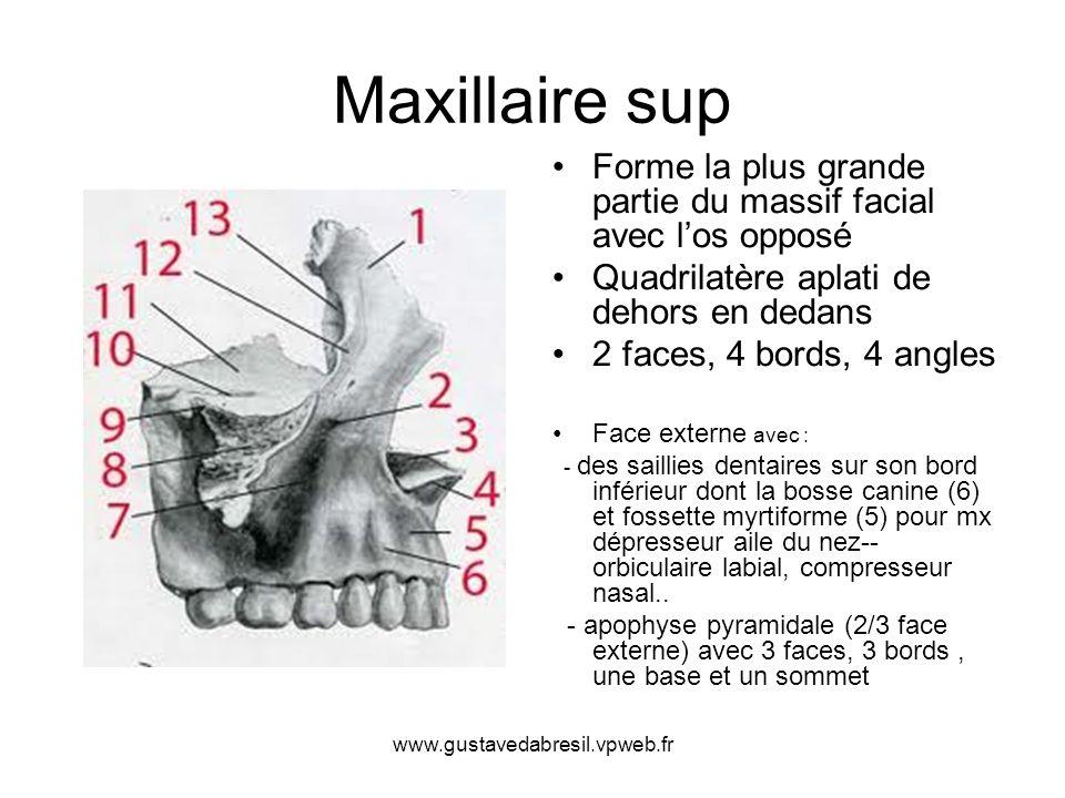 Maxillaire sup Forme la plus grande partie du massif facial avec l'os opposé. Quadrilatère aplati de dehors en dedans.
