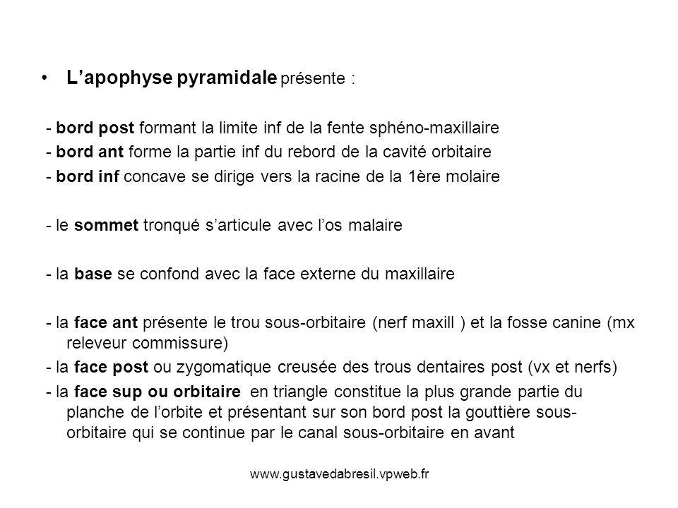 L'apophyse pyramidale présente :