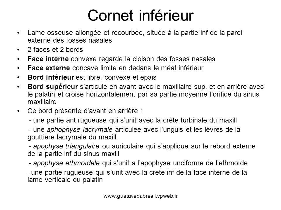 Cornet inférieur Lame osseuse allongée et recourbée, située à la partie inf de la paroi externe des fosses nasales.