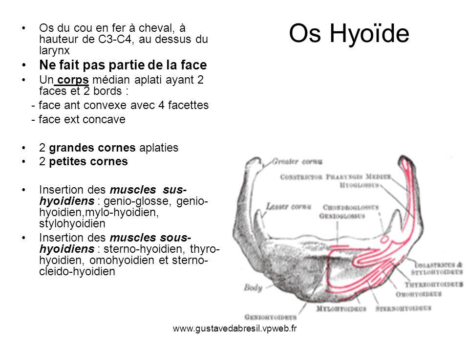 Os Hyoïde Ne fait pas partie de la face