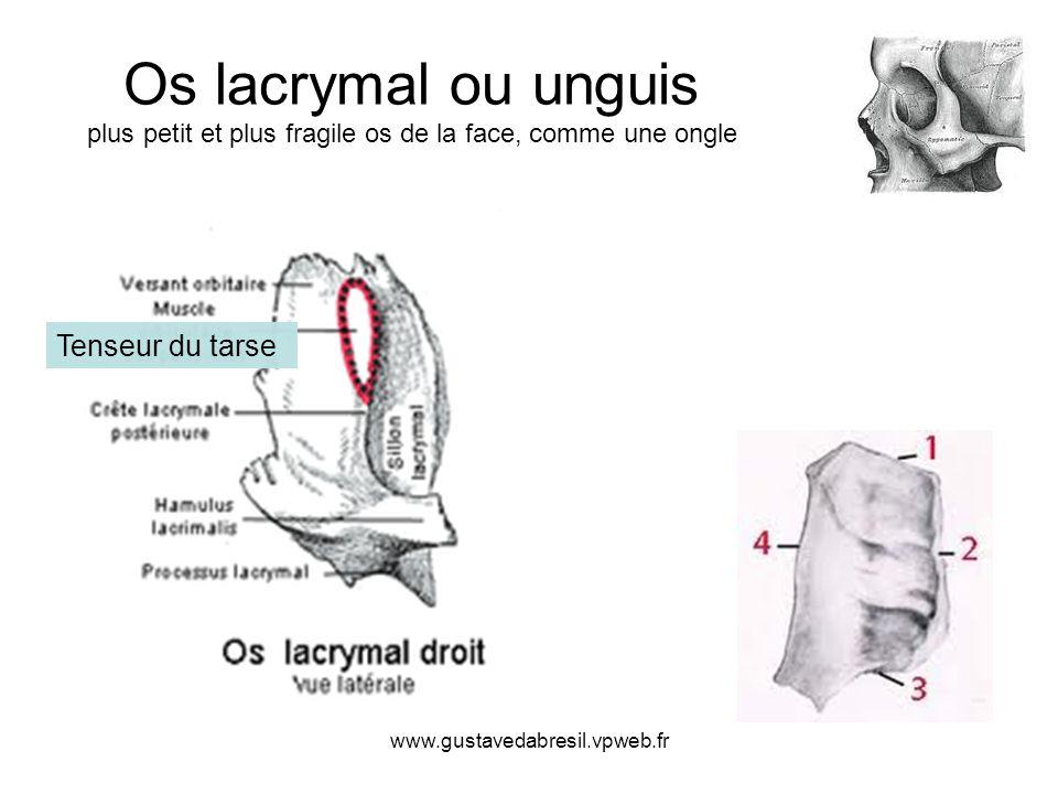 Os lacrymal ou unguis plus petit et plus fragile os de la face, comme une ongle