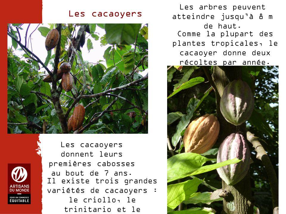 Les cacaoyers Les arbres peuvent atteindre jusqu'à 8 m de haut.