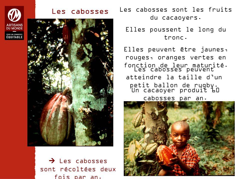 Les cabosses Les cabosses sont les fruits du cacaoyers.