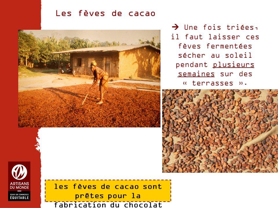 les fèves de cacao sont prêtes pour la fabrication du chocolat