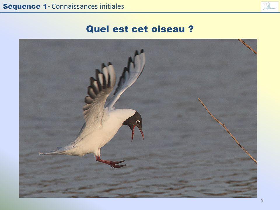 Quel est cet oiseau Photo : Mouette rieuse - Black-headed Gull - Larus ridibundus. Exercice en salle : Quel est cet oiseau