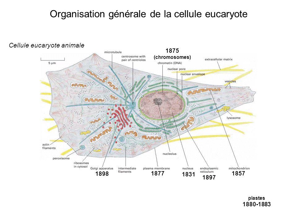 Organisation générale de la cellule eucaryote