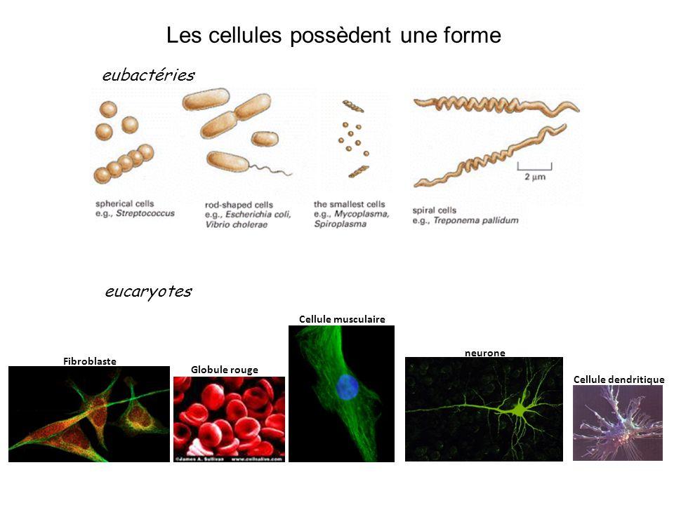 Les cellules possèdent une forme