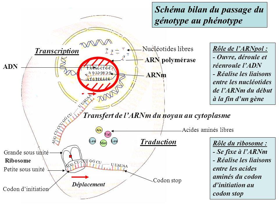 Schéma bilan du passage du génotype au phénotype