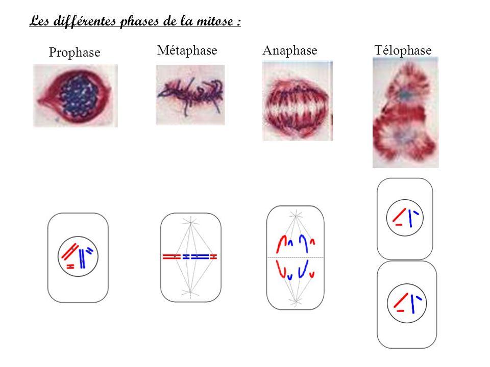 Les différentes phases de la mitose :