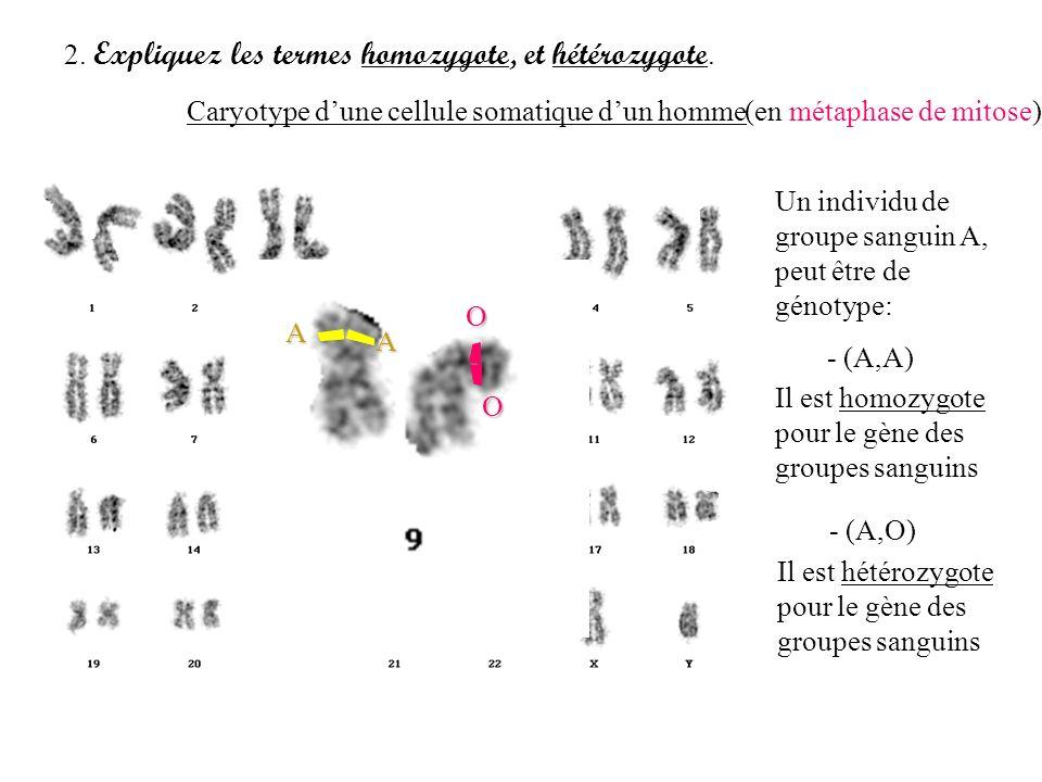 2. Expliquez les termes homozygote, et hétérozygote.