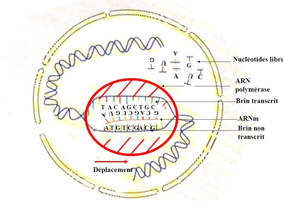 Nucléotides libres A C ARN polymérase Brin transcrit ARNm