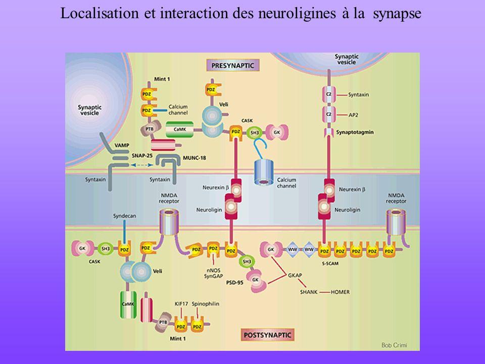 Localisation et interaction des neuroligines à la synapse