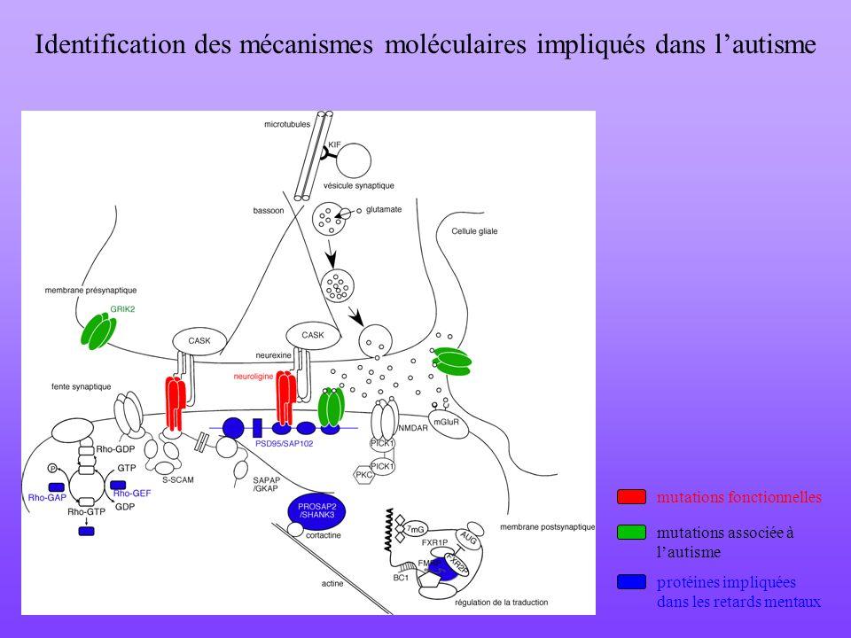 Identification des mécanismes moléculaires impliqués dans l'autisme