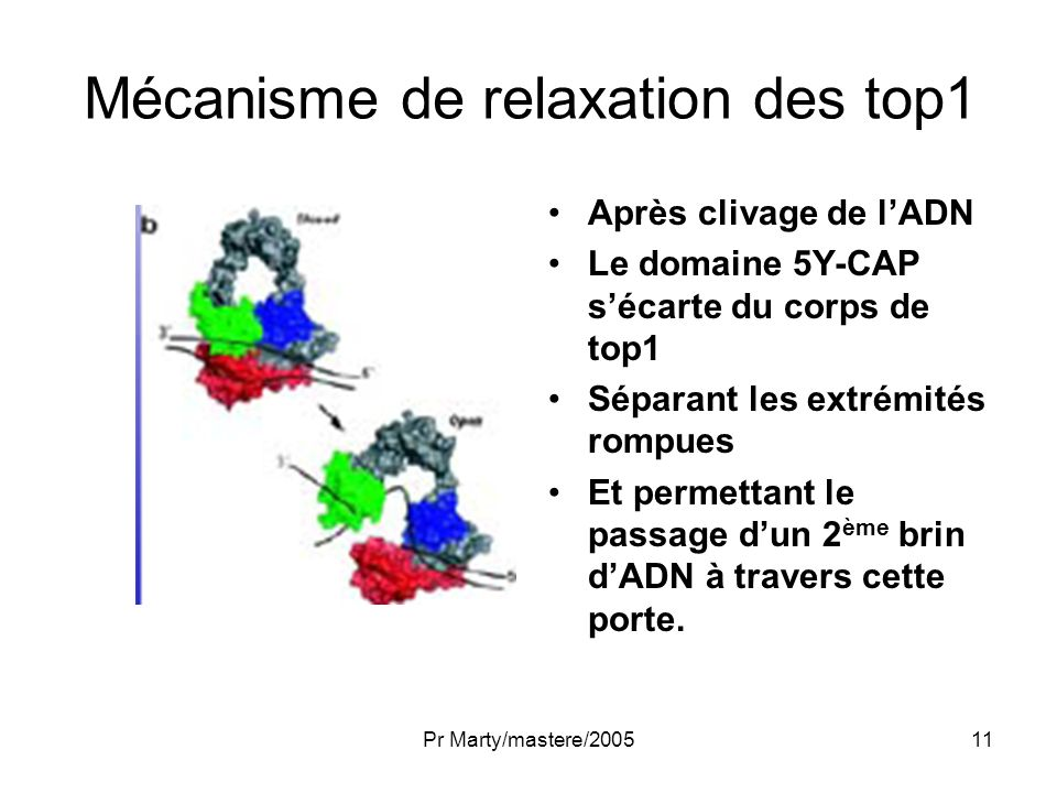 Mécanisme de relaxation des top1