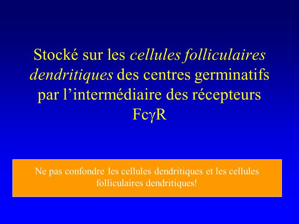 Stocké sur les cellules folliculaires dendritiques des centres germinatifs par l'intermédiaire des récepteurs FcgR