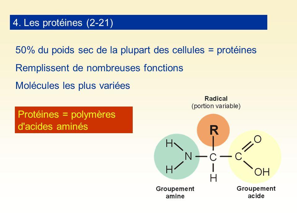 4. Les protéines (2-21) 50% du poids sec de la plupart des cellules = protéines. Remplissent de nombreuses fonctions.