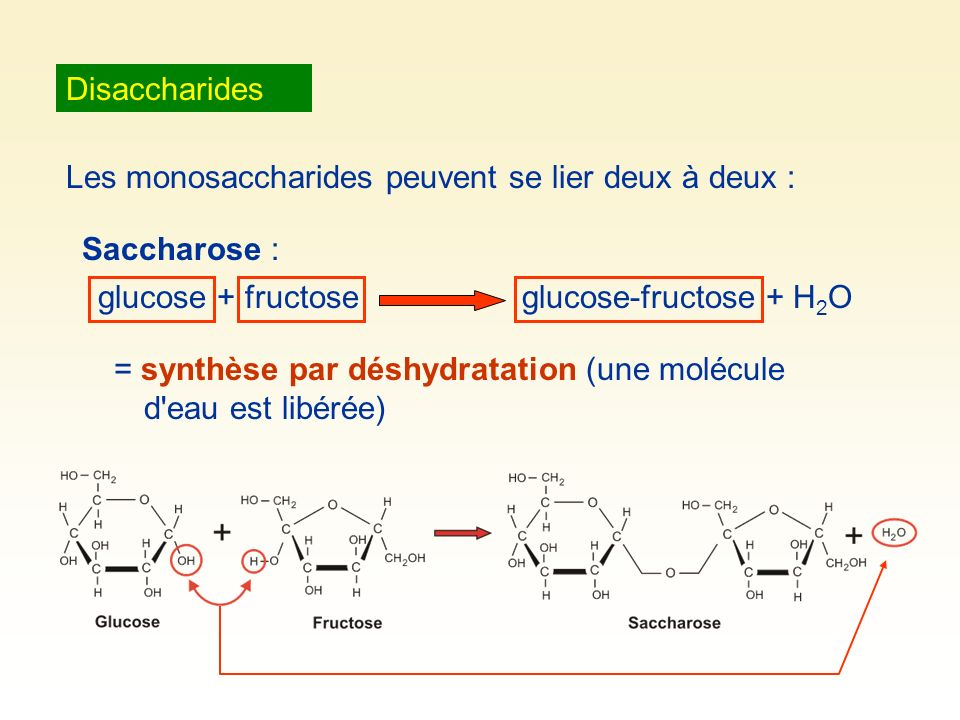 Disaccharides Les monosaccharides peuvent se lier deux à deux : Saccharose : glucose + fructose. glucose-fructose + H2O.