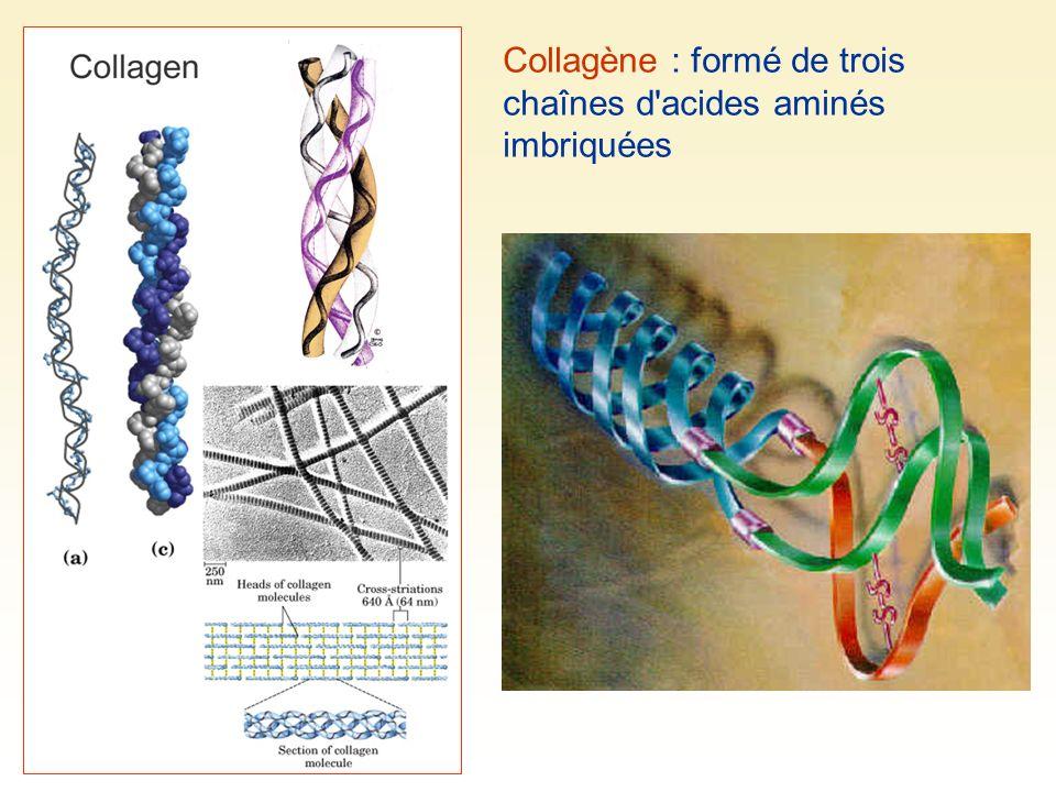 Collagène : formé de trois chaînes d acides aminés imbriquées