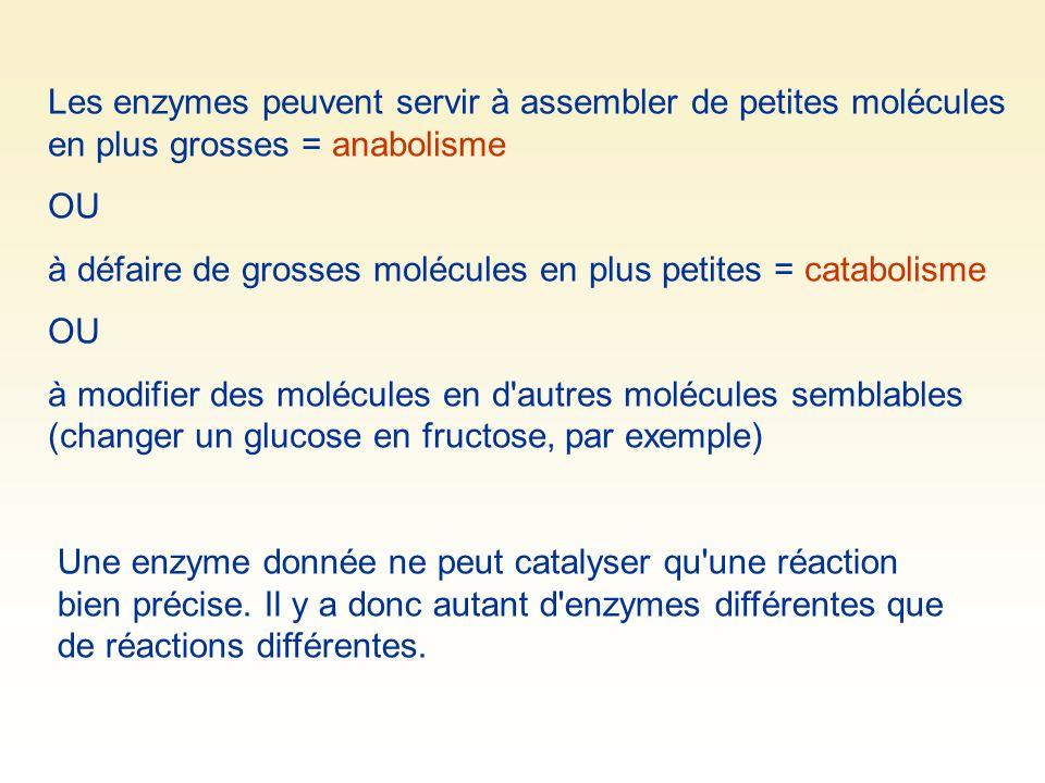 Les enzymes peuvent servir à assembler de petites molécules en plus grosses = anabolisme