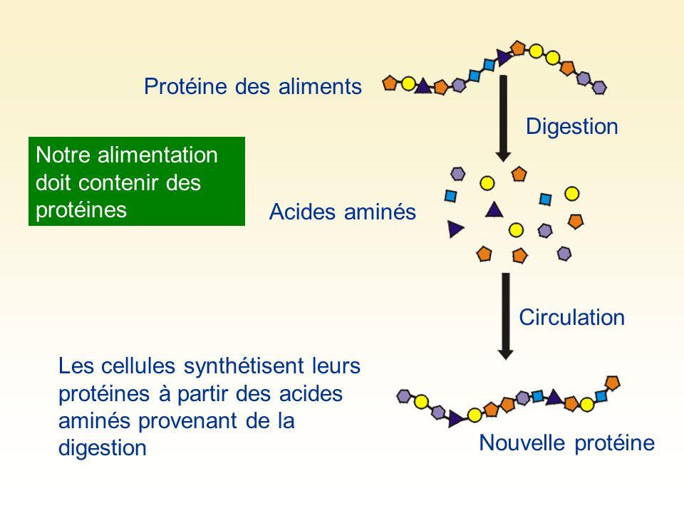 Protéine des aliments Digestion. Notre alimentation doit contenir des protéines. Acides aminés. Circulation.
