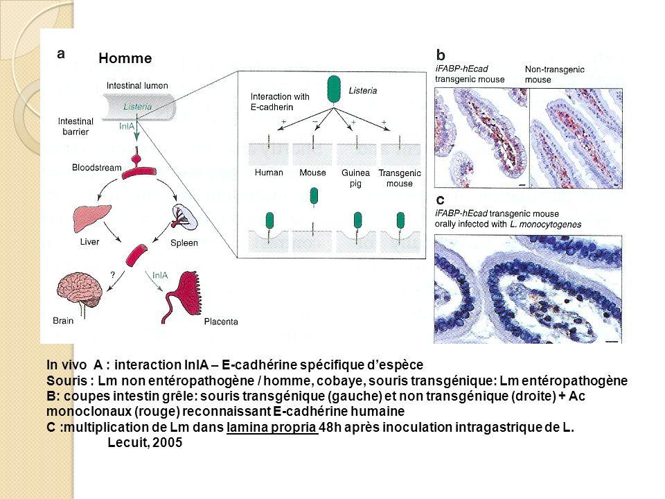 Homme In vivo A : interaction InlA – E-cadhérine spécifique d'espèce