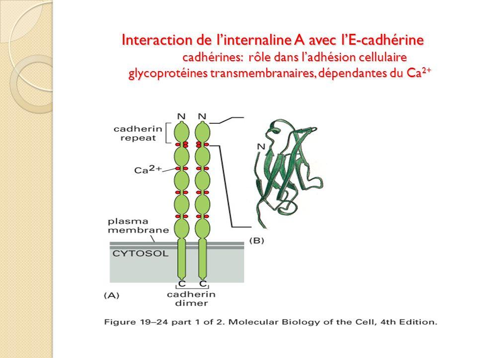 Interaction de l'internaline A avec l'E-cadhérine cadhérines: rôle dans l'adhésion cellulaire glycoprotéines transmembranaires, dépendantes du Ca2+