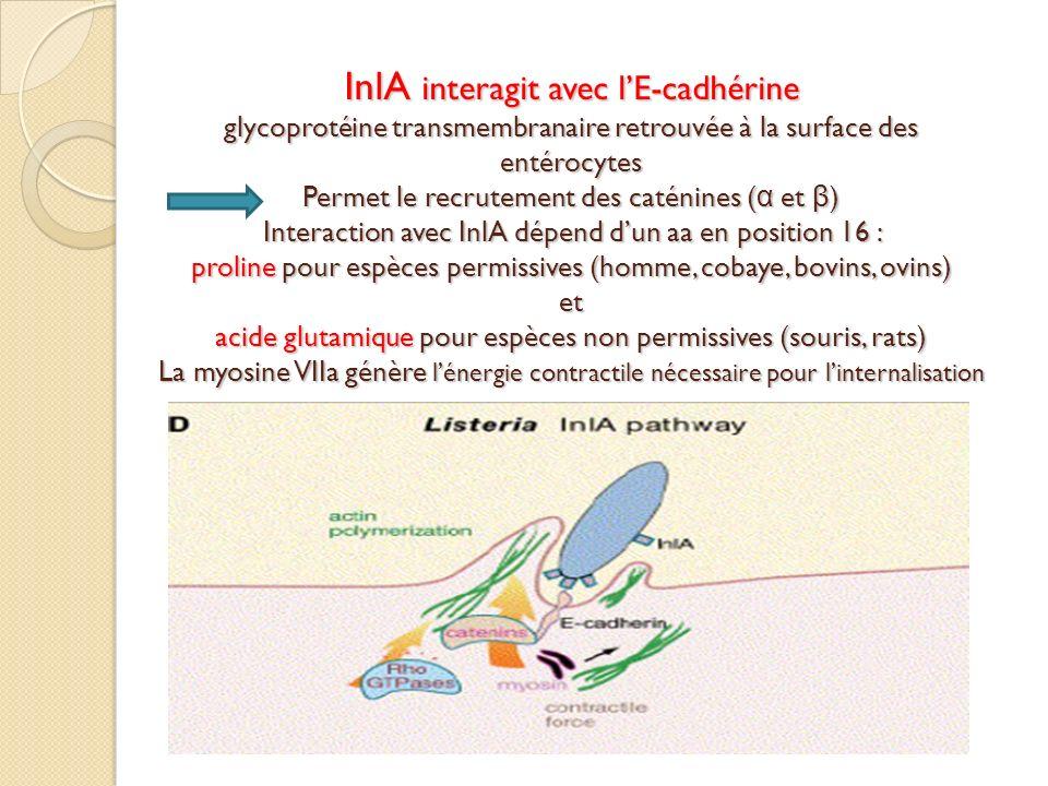 InlA interagit avec l'E-cadhérine glycoprotéine transmembranaire retrouvée à la surface des entérocytes Permet le recrutement des caténines (α et β) Interaction avec InlA dépend d'un aa en position 16 : proline pour espèces permissives (homme, cobaye, bovins, ovins) et acide glutamique pour espèces non permissives (souris, rats) La myosine VIIa génère l'énergie contractile nécessaire pour l'internalisation