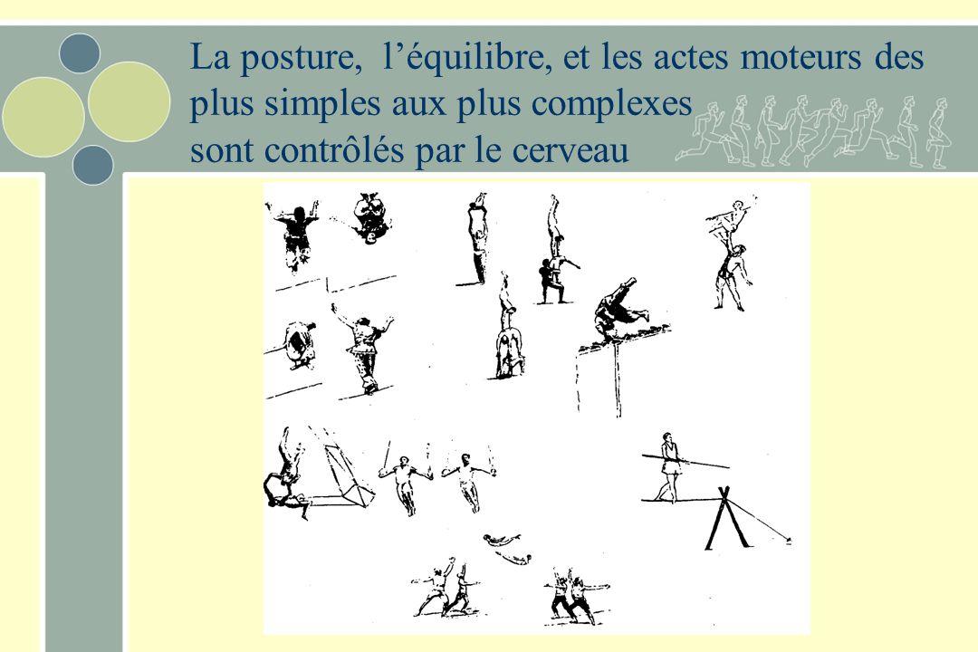 La posture, l'équilibre, et les actes moteurs des plus simples aux plus complexes sont contrôlés par le cerveau