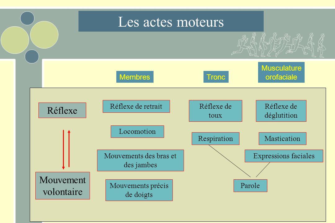 Les actes moteurs Réflexe Mouvement volontaire Musculature orofaciale