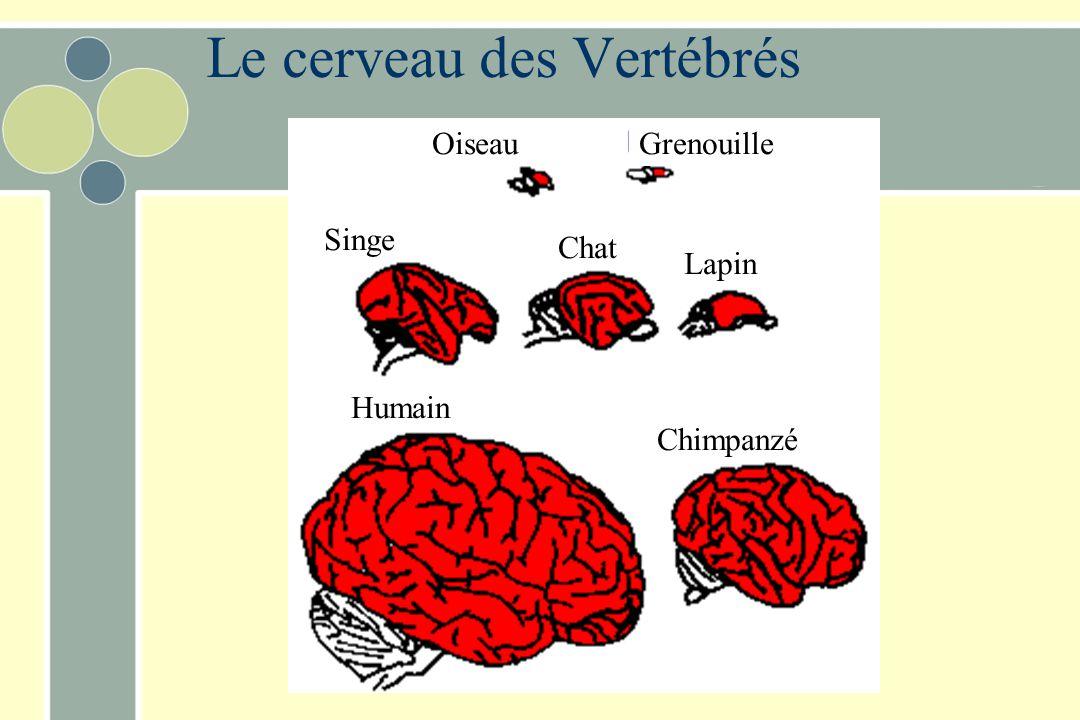 Le cerveau des Vertébrés