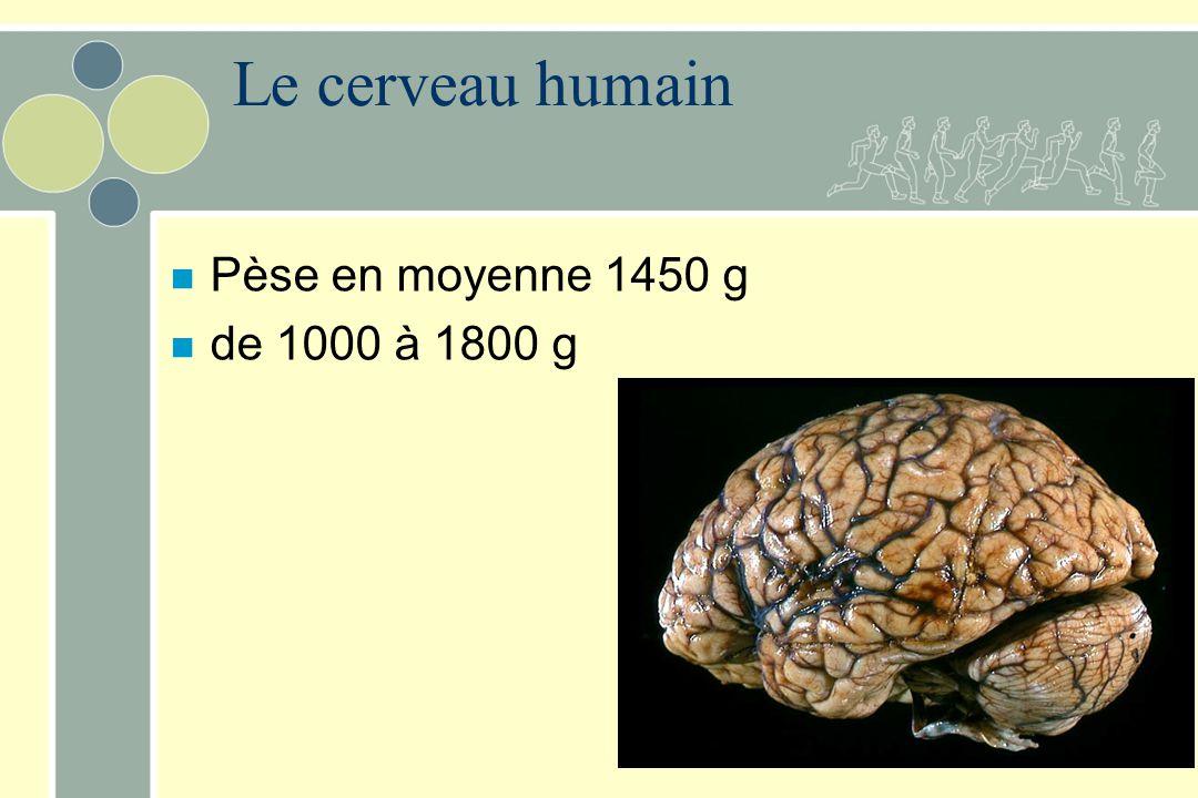 Le cerveau humain Pèse en moyenne 1450 g de 1000 à 1800 g