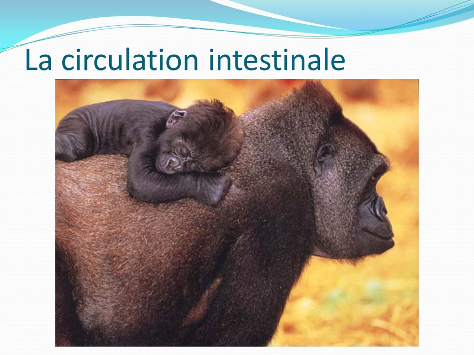 La circulation intestinale