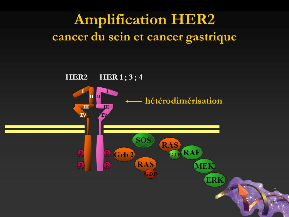 Amplification HER2 cancer du sein et cancer gastrique