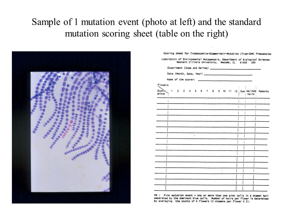 Sample of 1 mutation event (photo at left) and the standard mutation scoring sheet (table on the right)