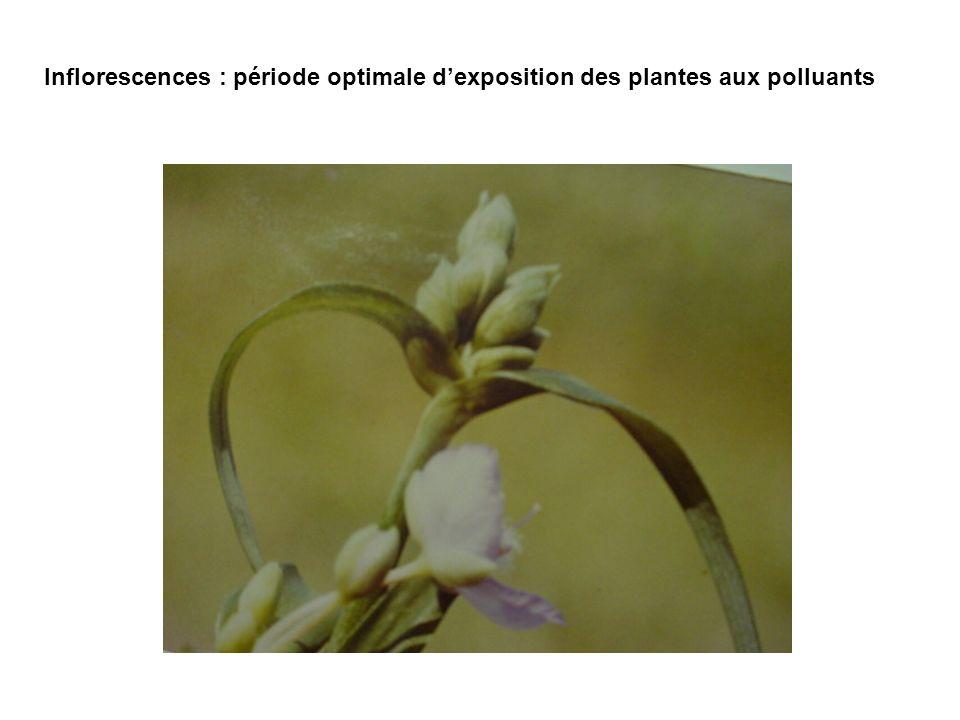 Inflorescences : période optimale d'exposition des plantes aux polluants