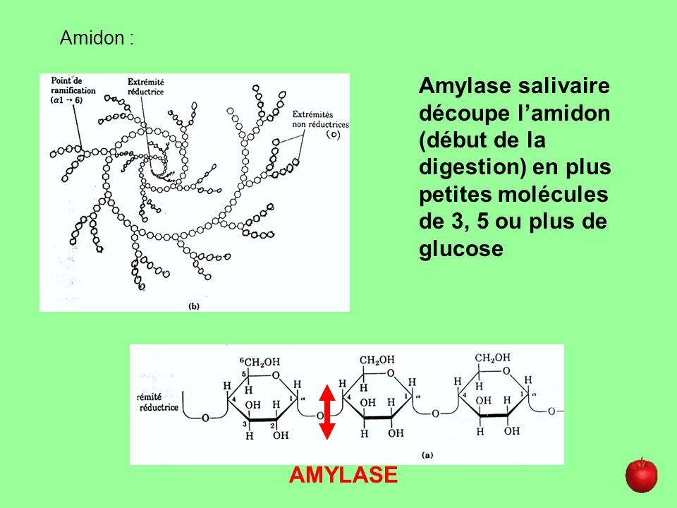 Amidon :Amylase salivaire découpe l'amidon (début de la digestion) en plus petites molécules de 3, 5 ou plus de glucose.
