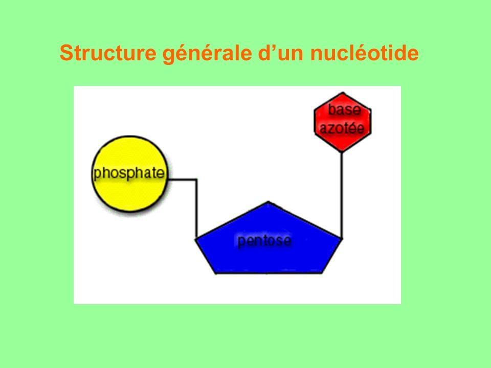 Structure générale d'un nucléotide
